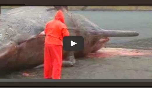 Video - Saksikan Bila Bangkai Ikan Paus Meletup
