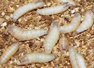 A infecção com vermes de fita leva ao peso excessivo