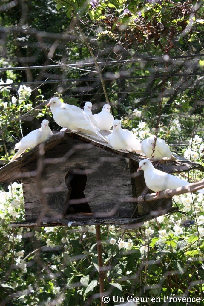 Colombes dans la volière du Jardin du Tomple à Concoules