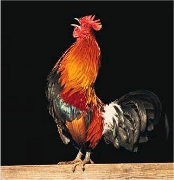 Fotos de un gallo