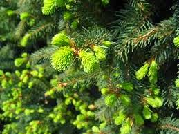 ŚWIERK POSPOLITY Picea abies