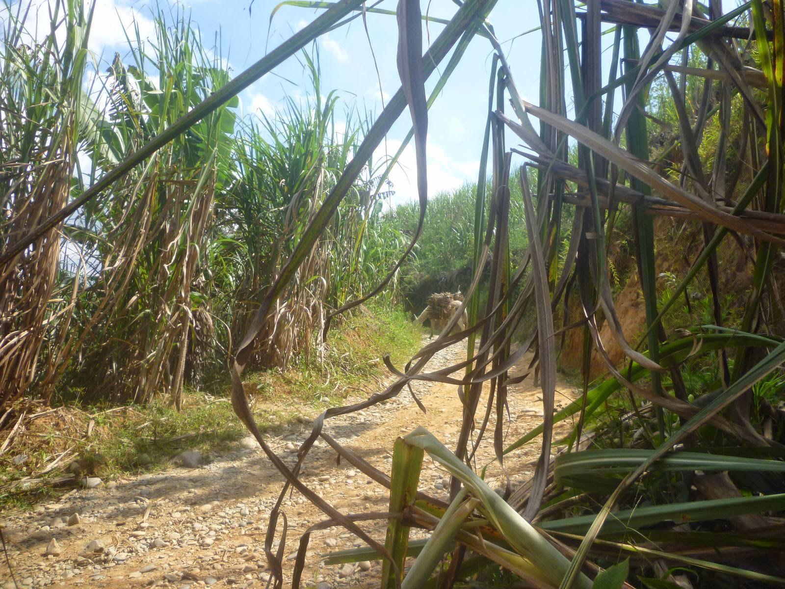 Animal de Tiro y Carga en Colombia mula y burro