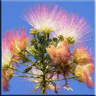 ağaç İkili tüysü yapraklar karşılıklı Bakla tipi meyve Polen alerjk