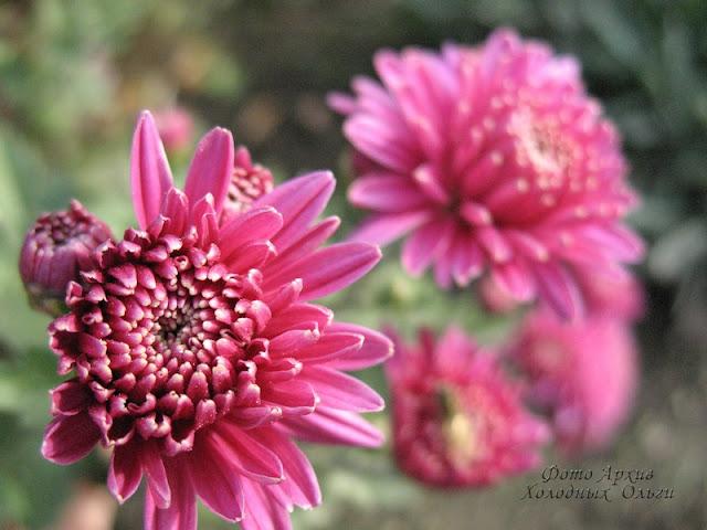 Хризантемы бордо