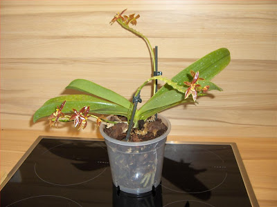 Phalaenopsis Cornu-Cervi orchid species on flowering,  ultimate repotting into medium-large bark and sphagnum moss