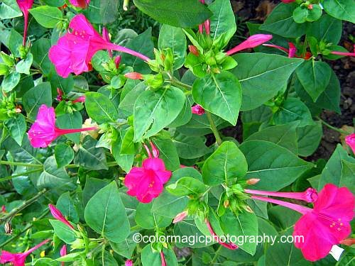 Four o'clock flowers-pink marvel of Peru