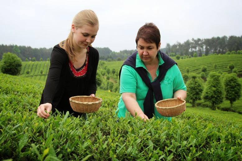 Volle Konzentration beim Teepflücken