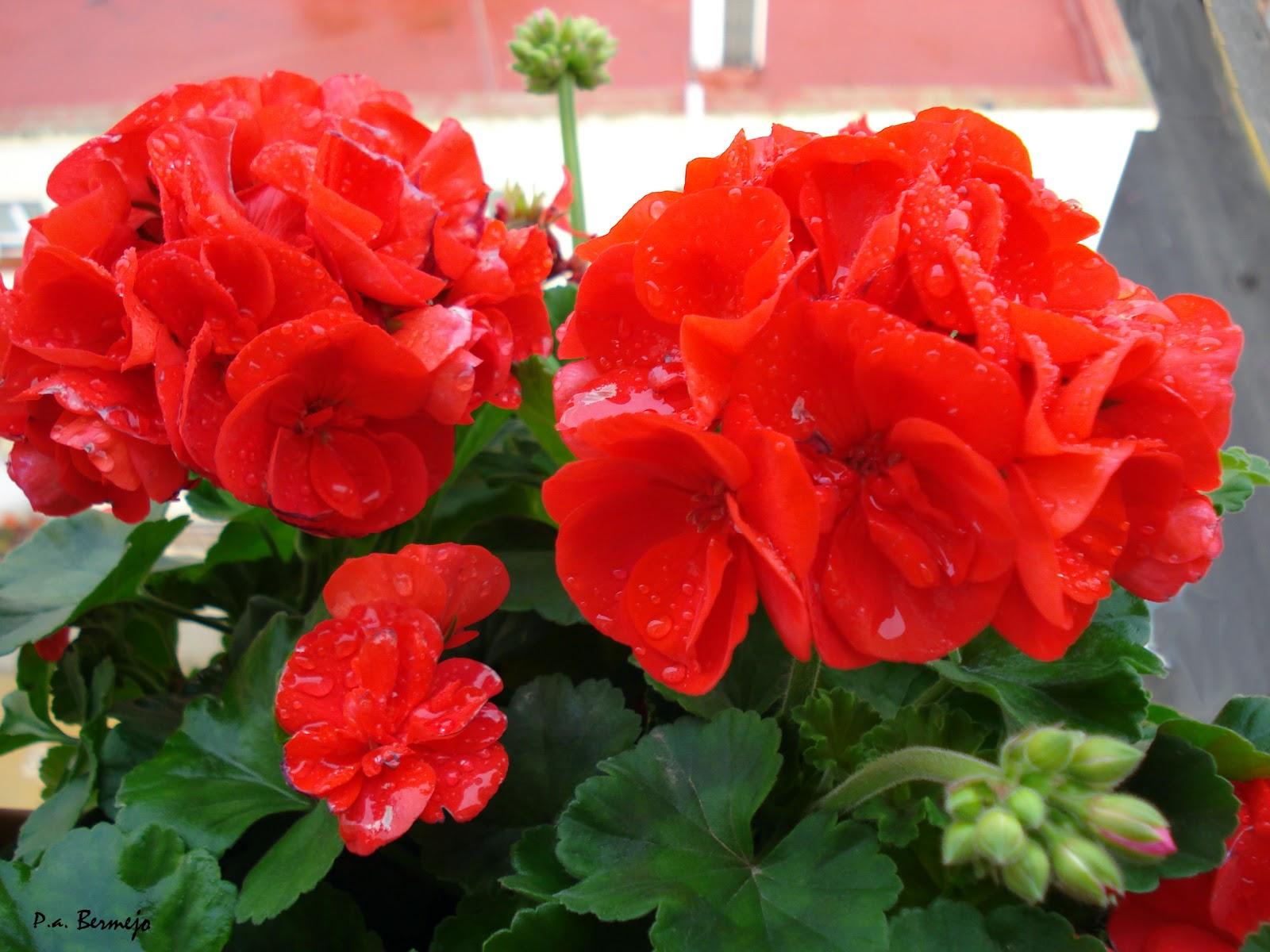 im genes de flores y plantas geranio