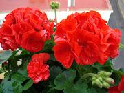 Imágenes de flores y plantas: Geranio genanio