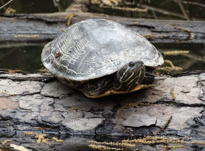 Photo of Turtle at Houston Arboretum and Nature Center