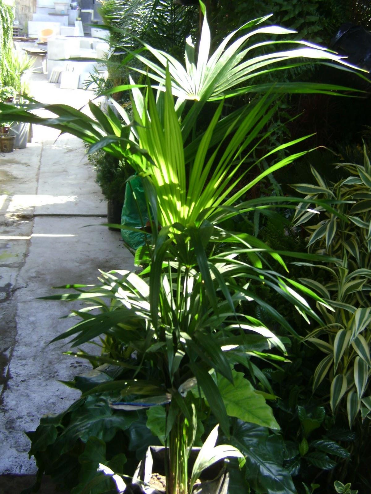 palmeras de exterior jardines y macetas fotos de plantas de interior y exterior
