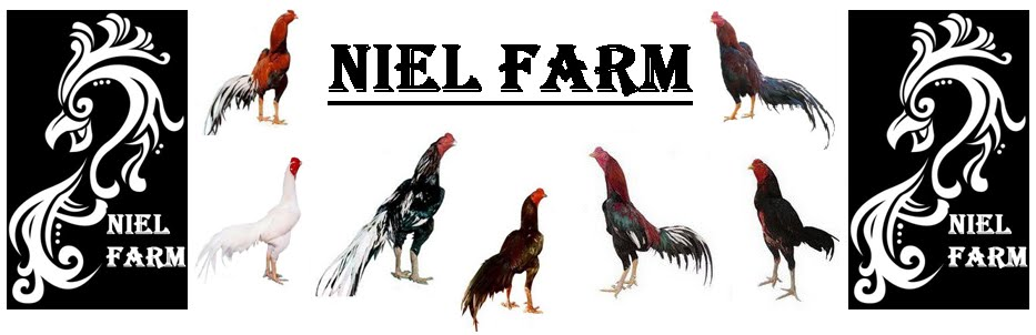 Niel Fighting Cock  Farm