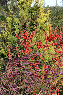 autumn_callicarpa_ilex_verticillata_thuja_occidentalis_toronto_botanical_garden_by_garden_muses_a_toronto_gardening_blog