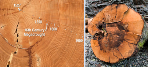 Tree rings carbon dating