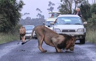 Κένυα.    Λιοντάρια προκαλούν… μποτιλιάρισμα!