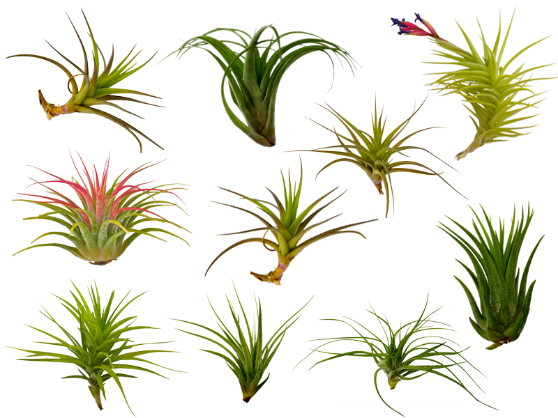 the fern and mossery buy air plants tillandsia online