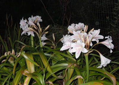 crinum bloom at dusk