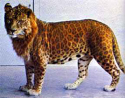 hybrid animal - leopon