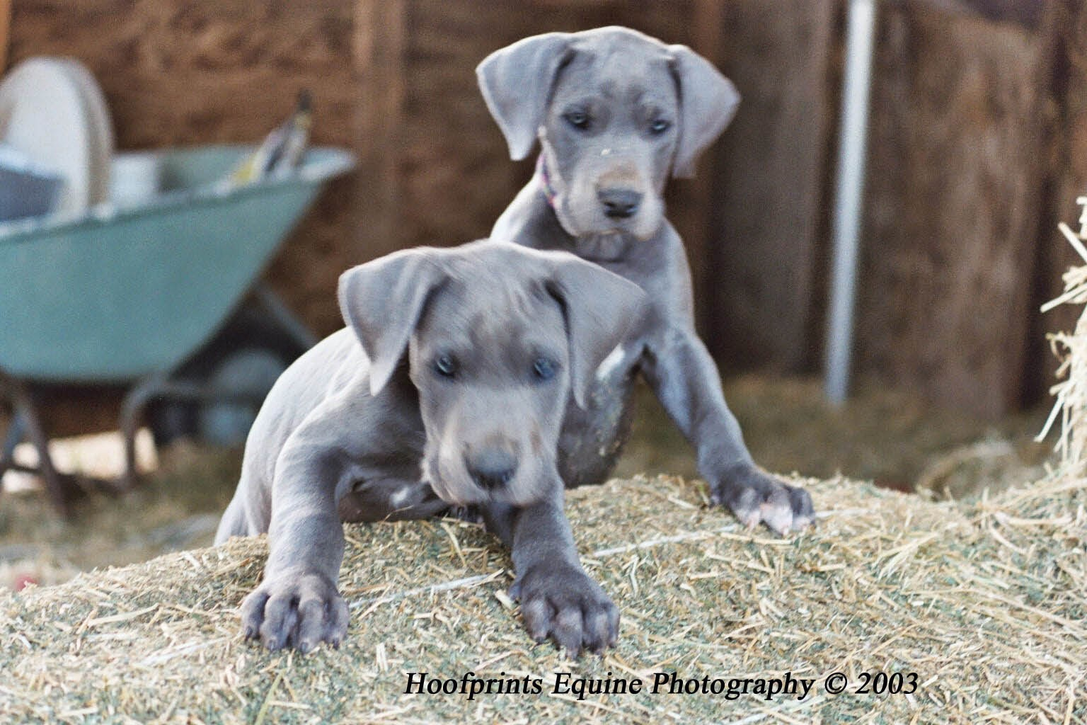 Dane is still a good companion to have pictures of great dane puppies
