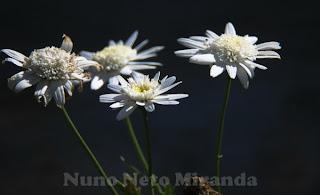 "alt=""daysies, margaridas, flores, flowers, sol, sun"""