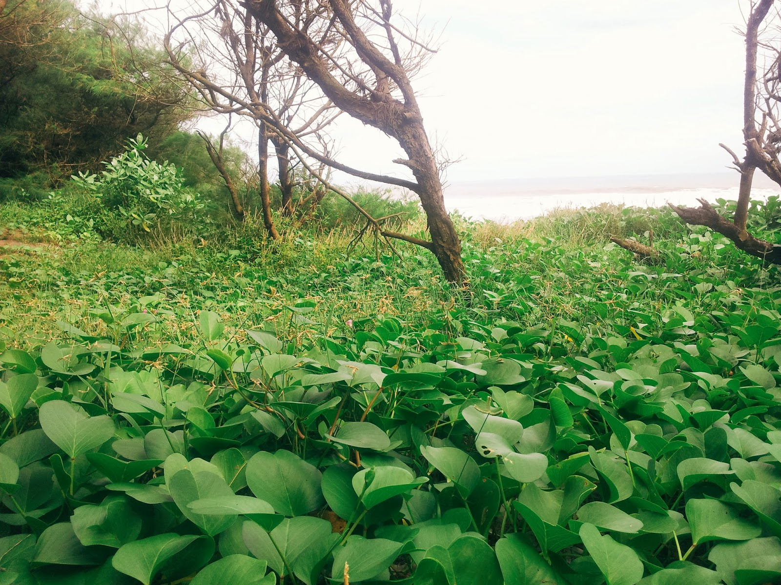 Vegetation in Goa Cemara beach in Bantul, Jogja