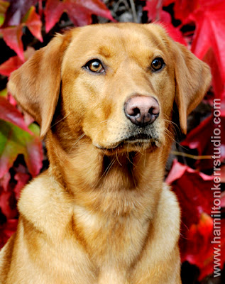 canine, dog portraits, Autumnal colours, colors, red leaves, alert dog