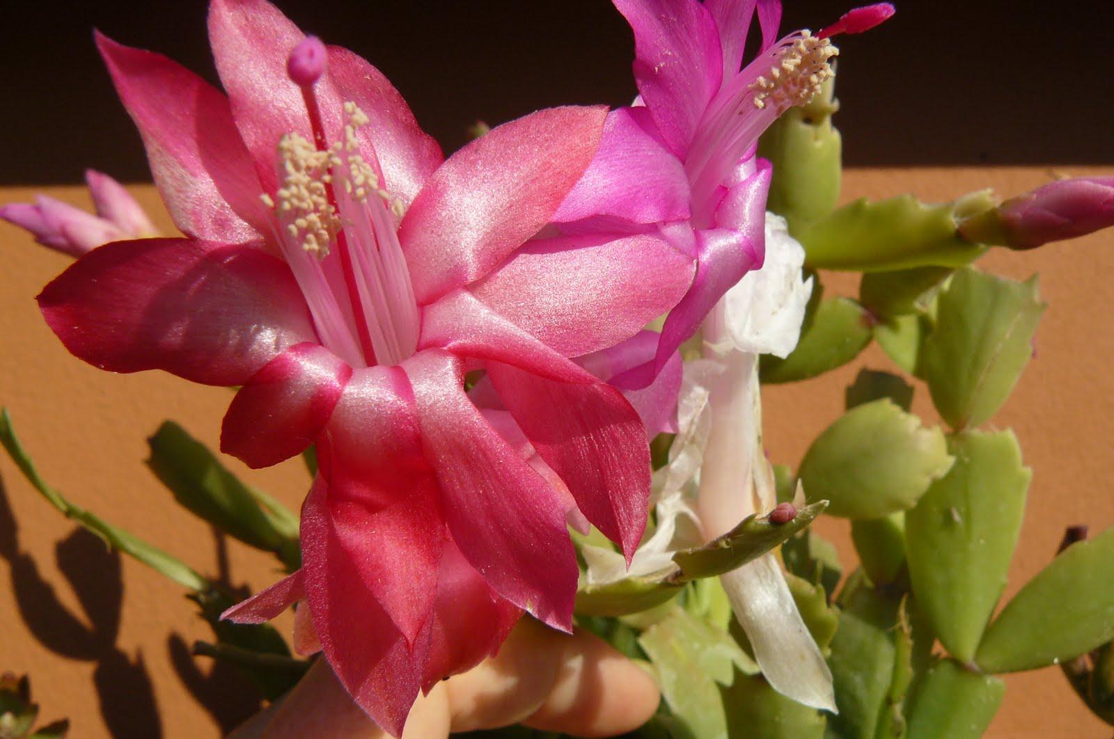 Jardines de cactus y suculentas schlumbergera o cactus de for Cactus de navidad