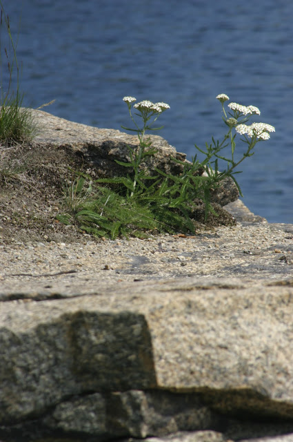 White flowers/weeds growing out of a piece of granite with water in the background at Halibut Point State Park