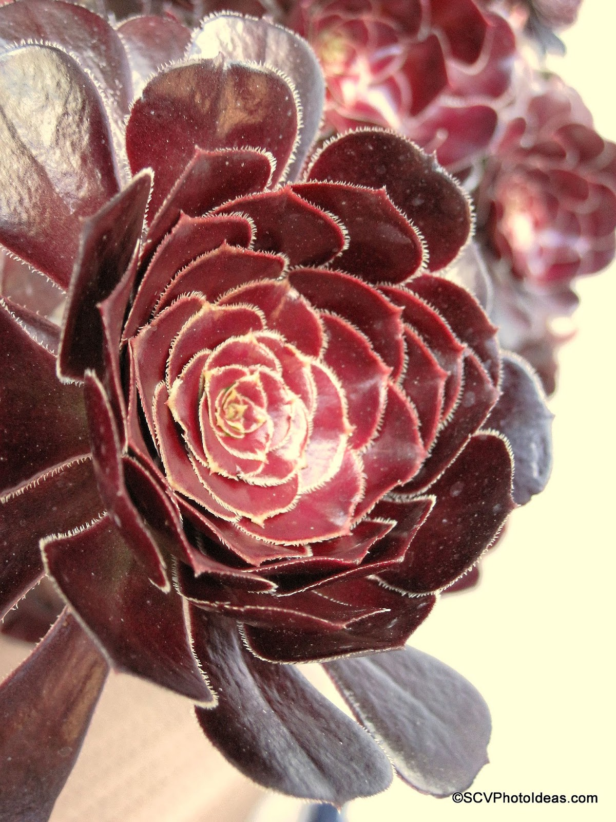 """Aeonium Arboreum Var. Atropurpureum """"Schwartzkopf"""" daylight"""