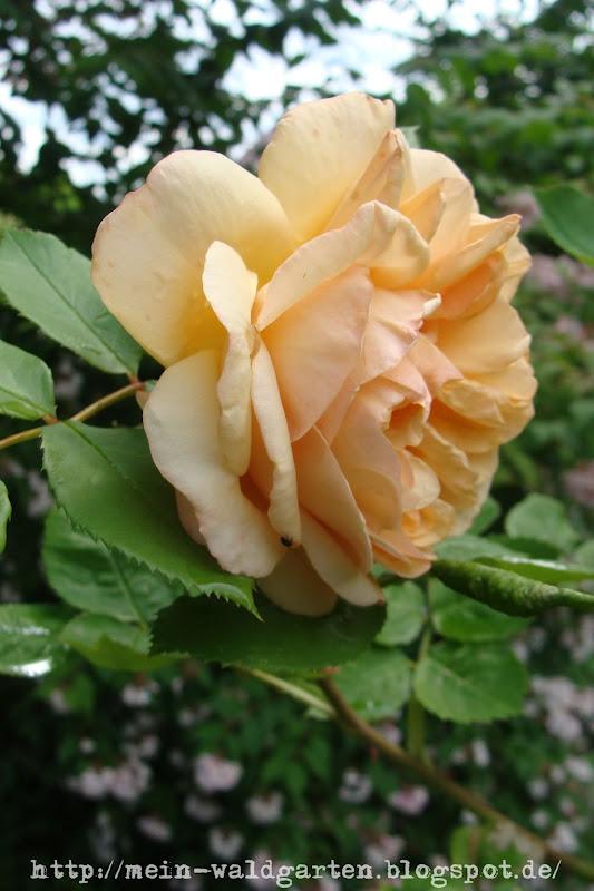 mein waldgarten die hagebutten der rosen rosae semen. Black Bedroom Furniture Sets. Home Design Ideas