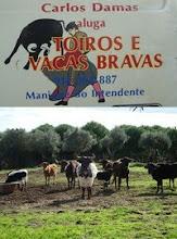 Gado Bravo de Carlos & Diogo Damas- Manique do Intendente (Azambuja)
