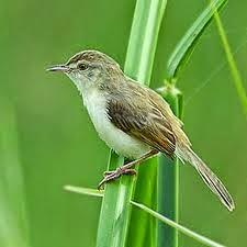 Gambar Cara Merawat Burung Ciblek Sawah