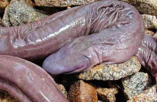 les longs penis