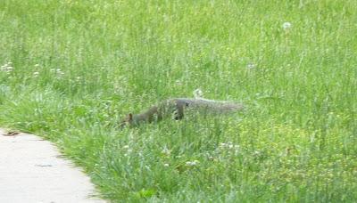 squirrel sneaking up on sidewalk