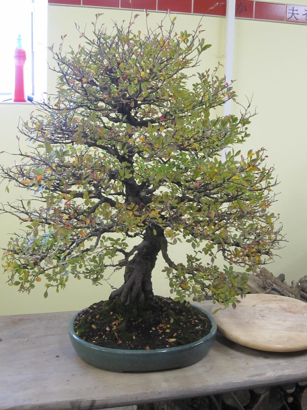 holger 39 s bonsai blog erstes treffen 2013. Black Bedroom Furniture Sets. Home Design Ideas