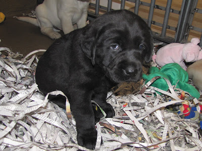 Black Labrador Retriever puppy from GDB breeder mom Bettymae's litter