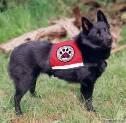 Search and Rescue Dog Bearette training in her ID Cape dog vest.
