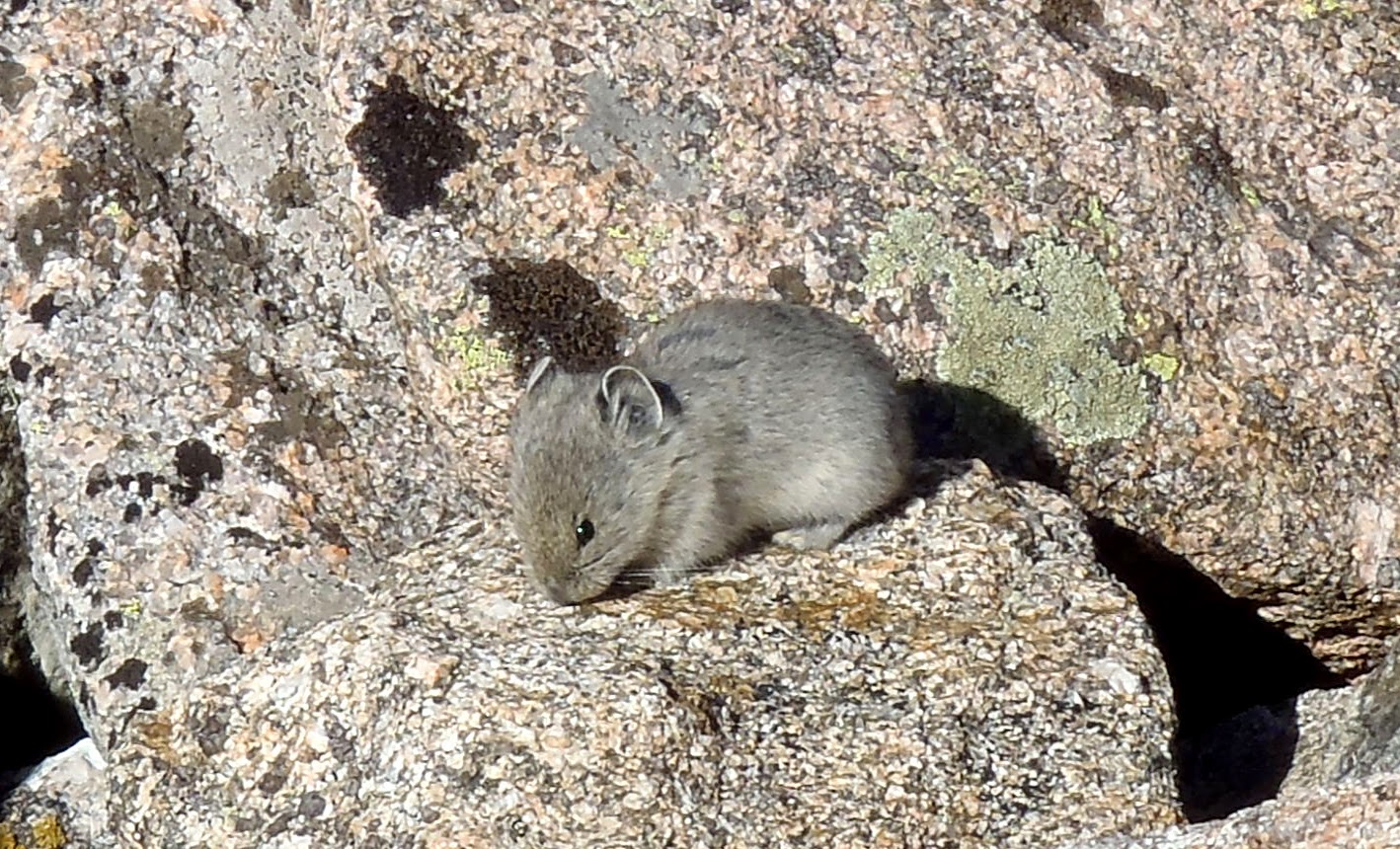 Colorado Small Mammal Pika