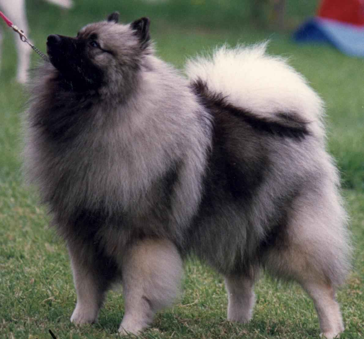 keeshond dog info fun animals wiki videos pictures. Black Bedroom Furniture Sets. Home Design Ideas