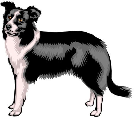 sheepdog / collie