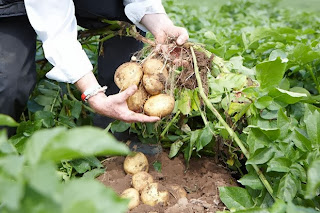 How to Starting a Potato Farming Business
