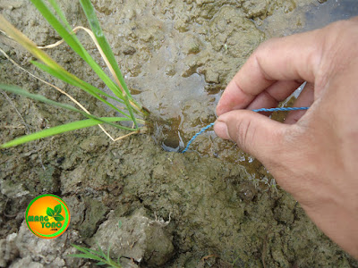 Foto 4 : Memasukan urek kedalam lubang belut dengan digere