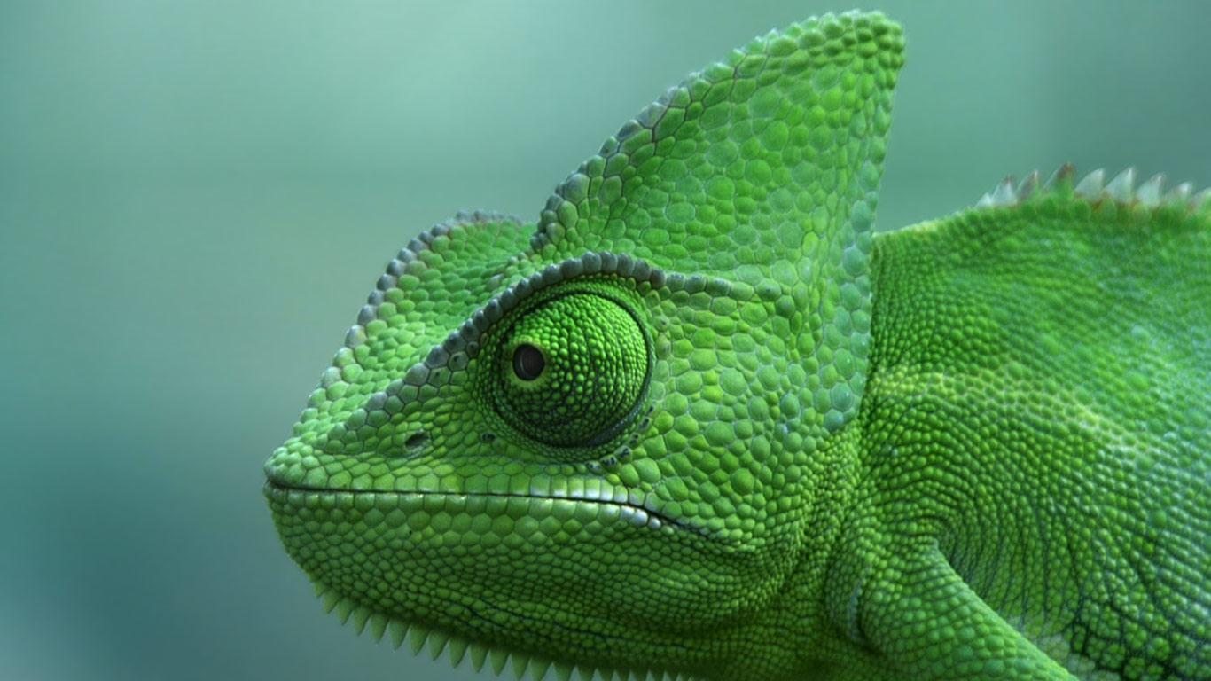 Veiled chameleon skeleton - photo#17