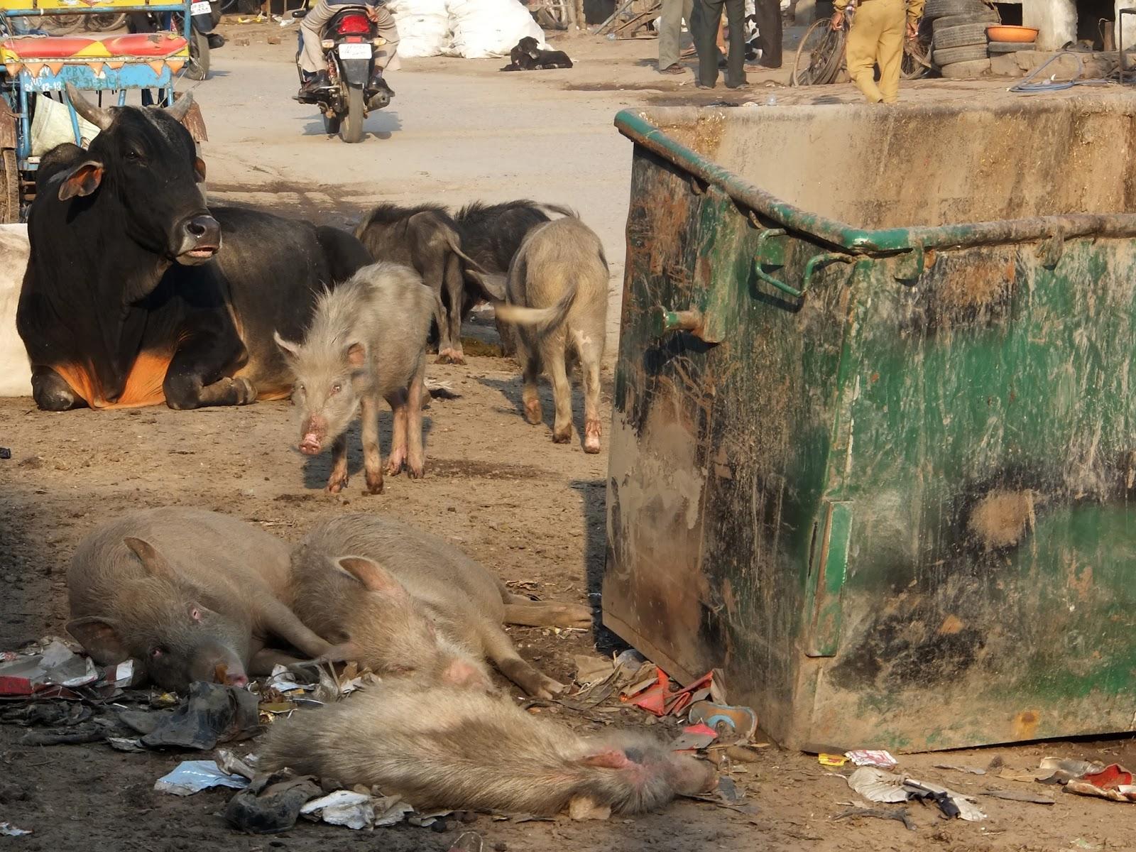 свиньи в Индии