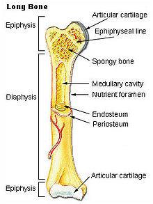 Bagian - Bagian Tulang