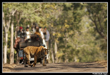 The Tadoba Tiger