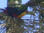 Tucano-de-peito-vermelho. (Ramphastos dicolurus)