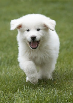 Great Pyrenees Puppies on Great Pyrenees Puppies Pictures Review