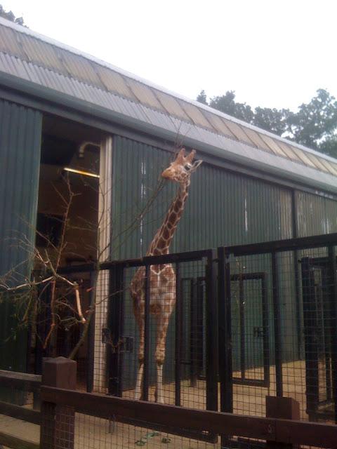giraffe whipsnade zoo