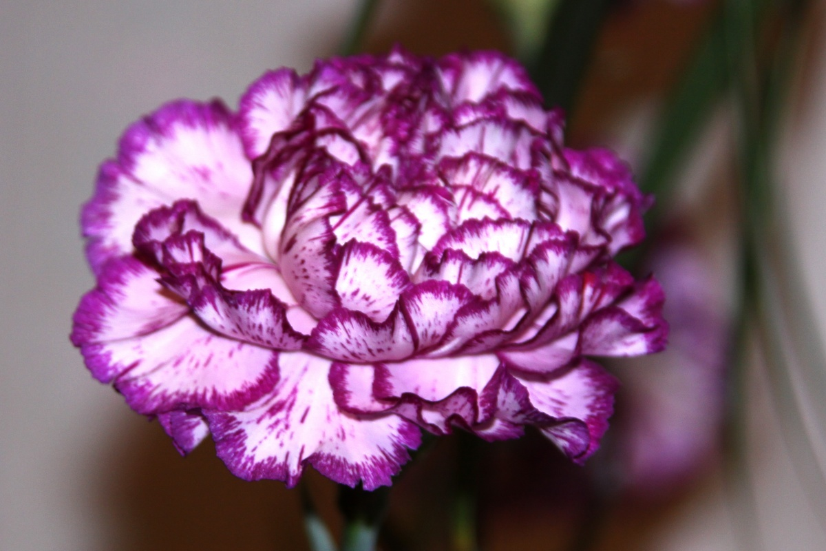 purple carnation flower meaning  gallery, Natural flower